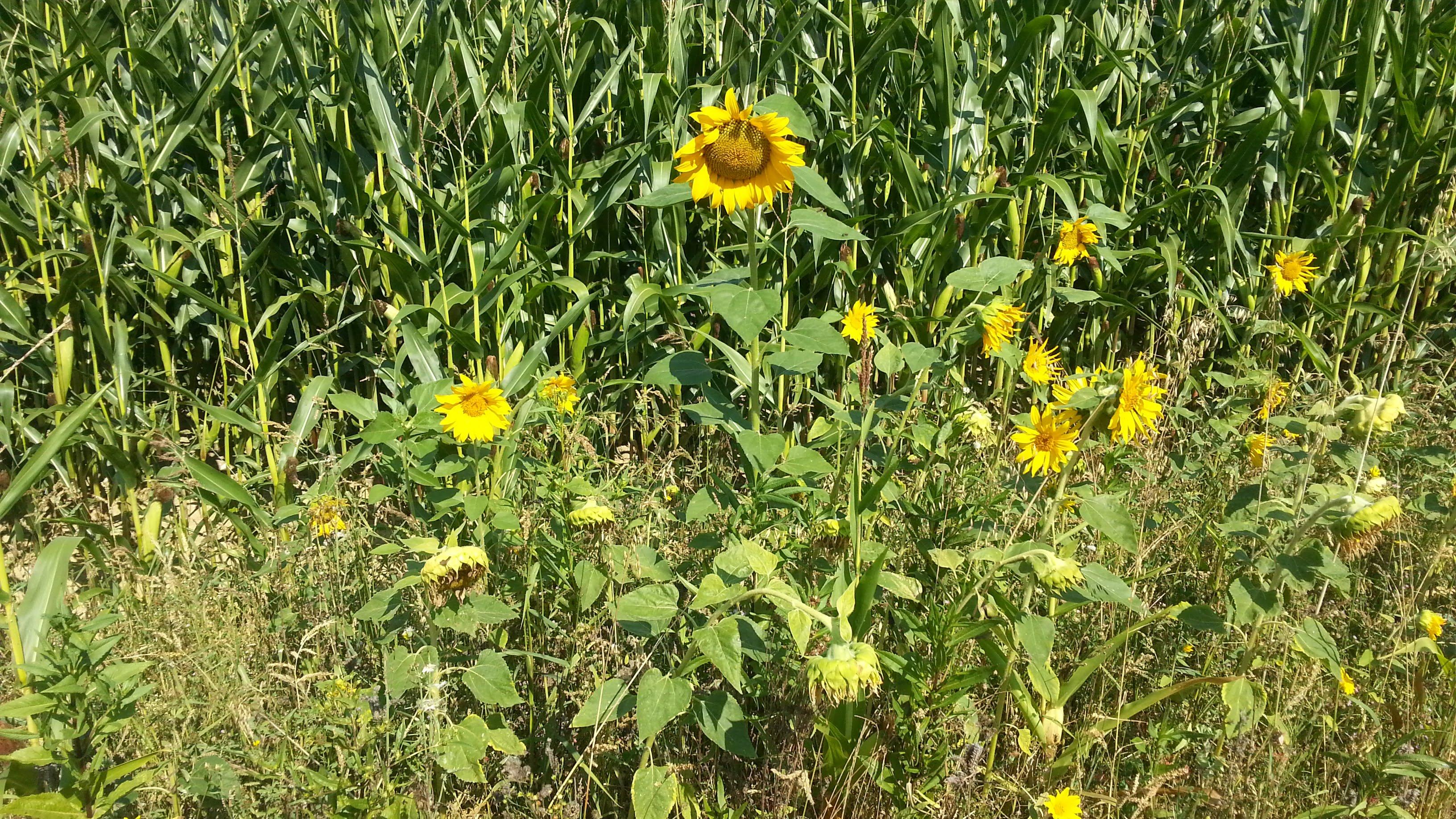 Sonnenblumen bei Klimmach